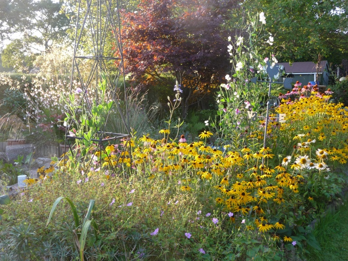 The Autumn border..Rudbeckia still flowering, Stipa Gigantica.,Echinacea, Gaura,Sweet Peas,Geraniums..