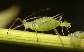 aphid closeup