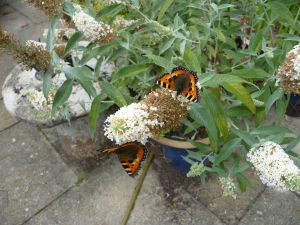 Small Tortoiseshell butterflies feeding on Buddleja Buzz.