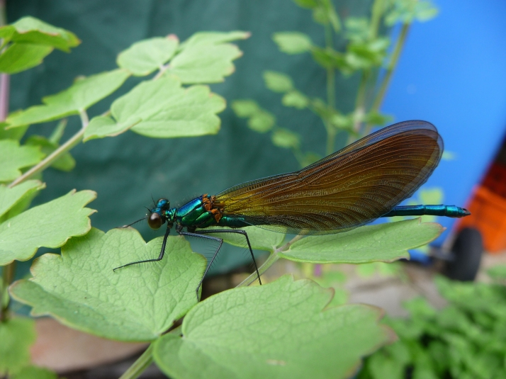 What a surprise visitor-this is a Beautiful Demoiselle Damselfly