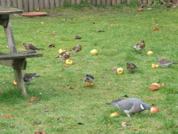 Fieldfares eating apples