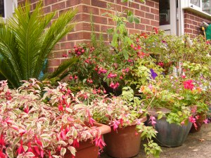 Assortment of Fuchsias