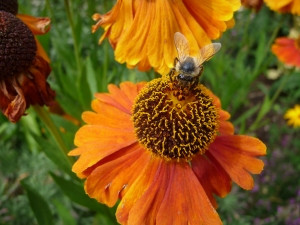 Bee on Helenium flower