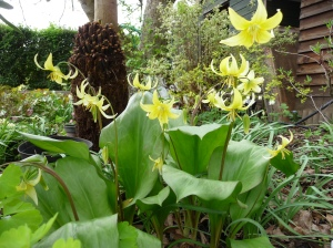 Yellow Dog's Tooth Violets