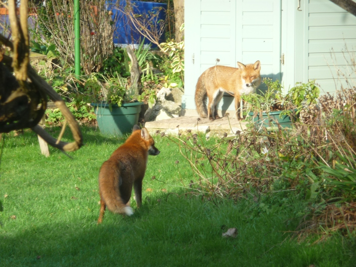 2 fox visitors for the day.
