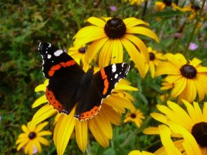 Red Admiral butterfly on Rudbeckia Deamii