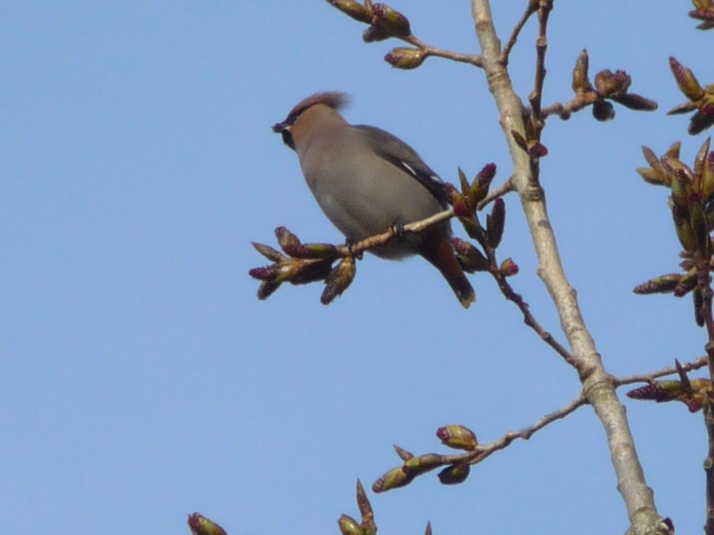 Waxwings in the Black Poplar trees