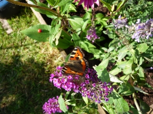 Beautiful Small Tortoiseshell butterfly