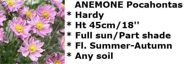 Anemone pocohontas2