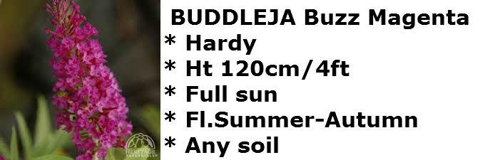 Buddleja Buzz magenta2