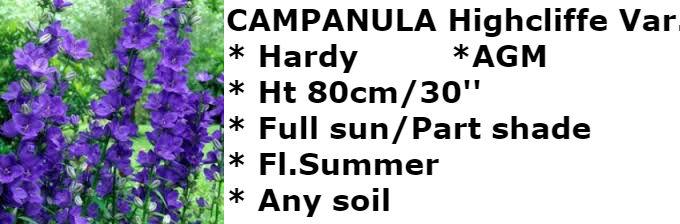 campanula HV2