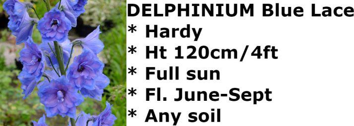 Delphinium-Blue-Lace2