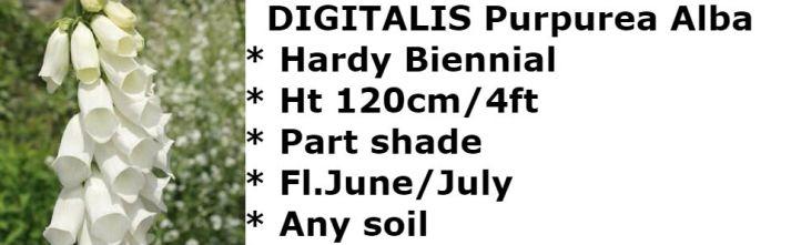 digitalis-purpurea-alba2