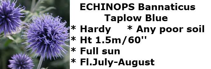 echinops TB2