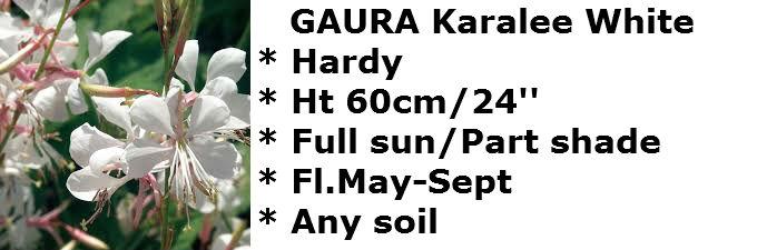 Gaura KW2