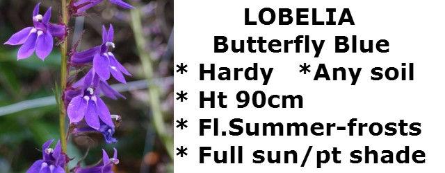 lobelia-butterfly-blue