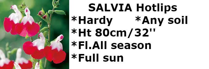 Salvia hotlips2