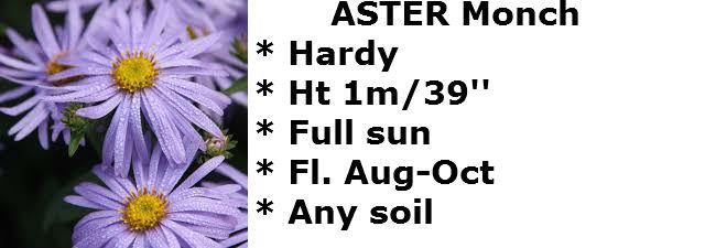 Aster monch2