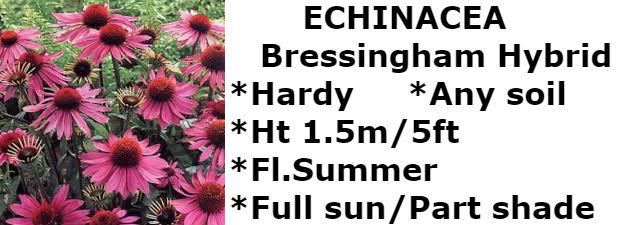echinacea BH2