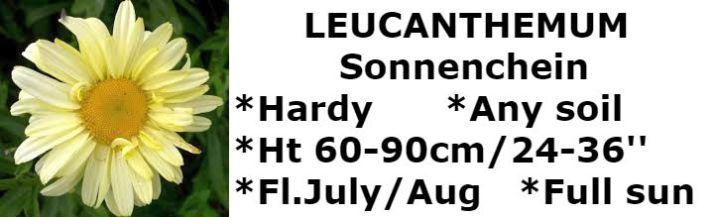 leucanthemum sonnenchein2