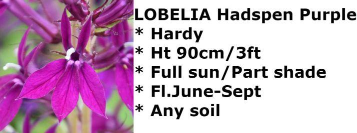 Lobelia Hadspen Purp2