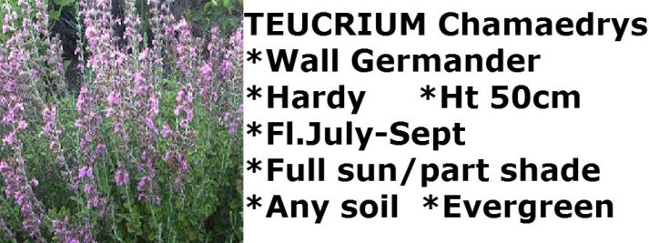 Teuchrium