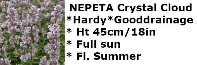 Nepeta Crystal Cloud2